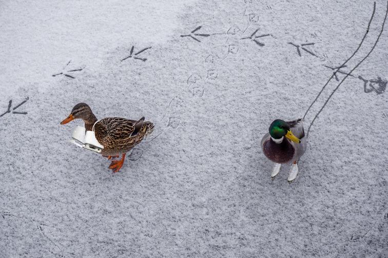 ducks-1980180_1920